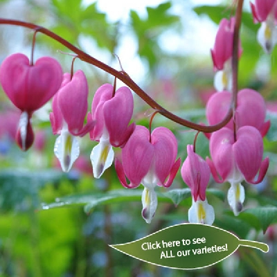 Dicentra - Bleeding Heart